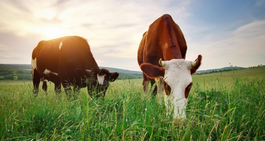 grass fed beef healthy