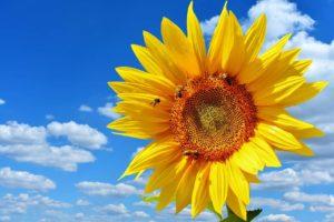 Sunflower heirloom seeds