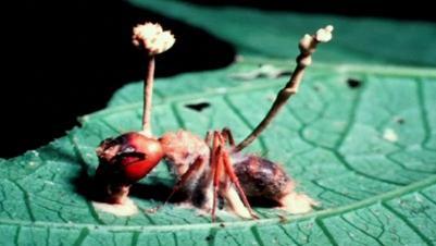 Ant Mushroom Head - EndAllDisease