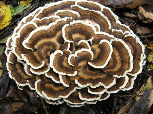 Turkey Tail Mushrooms - EndAllDisease21