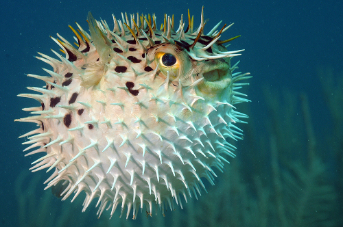 Blowfish Sperm - endalldisease