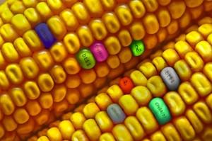 GMO-Corn - EndAllDisease
