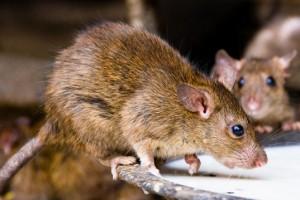 Rat Meat Lamb - EndAllDisease