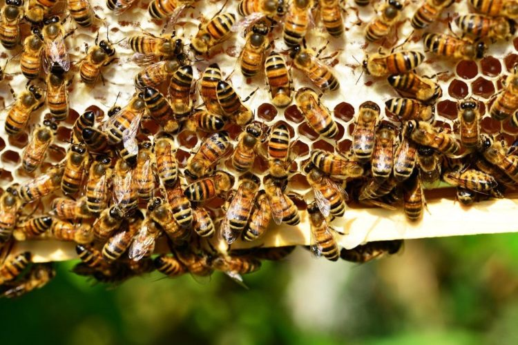bees dead after gmo corn planting