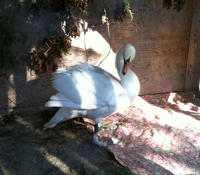 heathy-swan