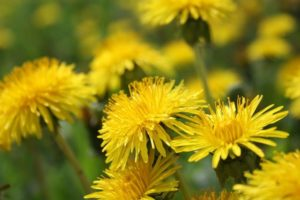 Dandelion alternative cancer treatment1