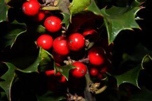 Mistletoe Alternative Cancer Treatment