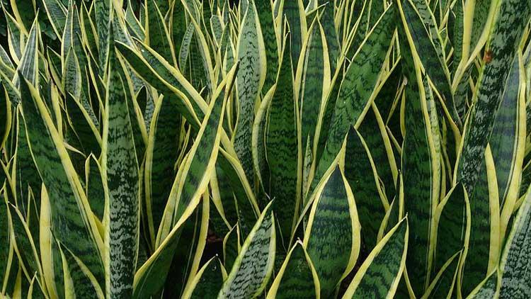 Snake_Plant_Sansevieria_trifasciata_Laurentii