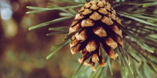 Turpentine pine tree alternative cancer treatment